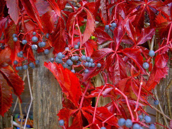 Parthenocissus quinquefolia, - Google'da Ara  Virginia Creeper