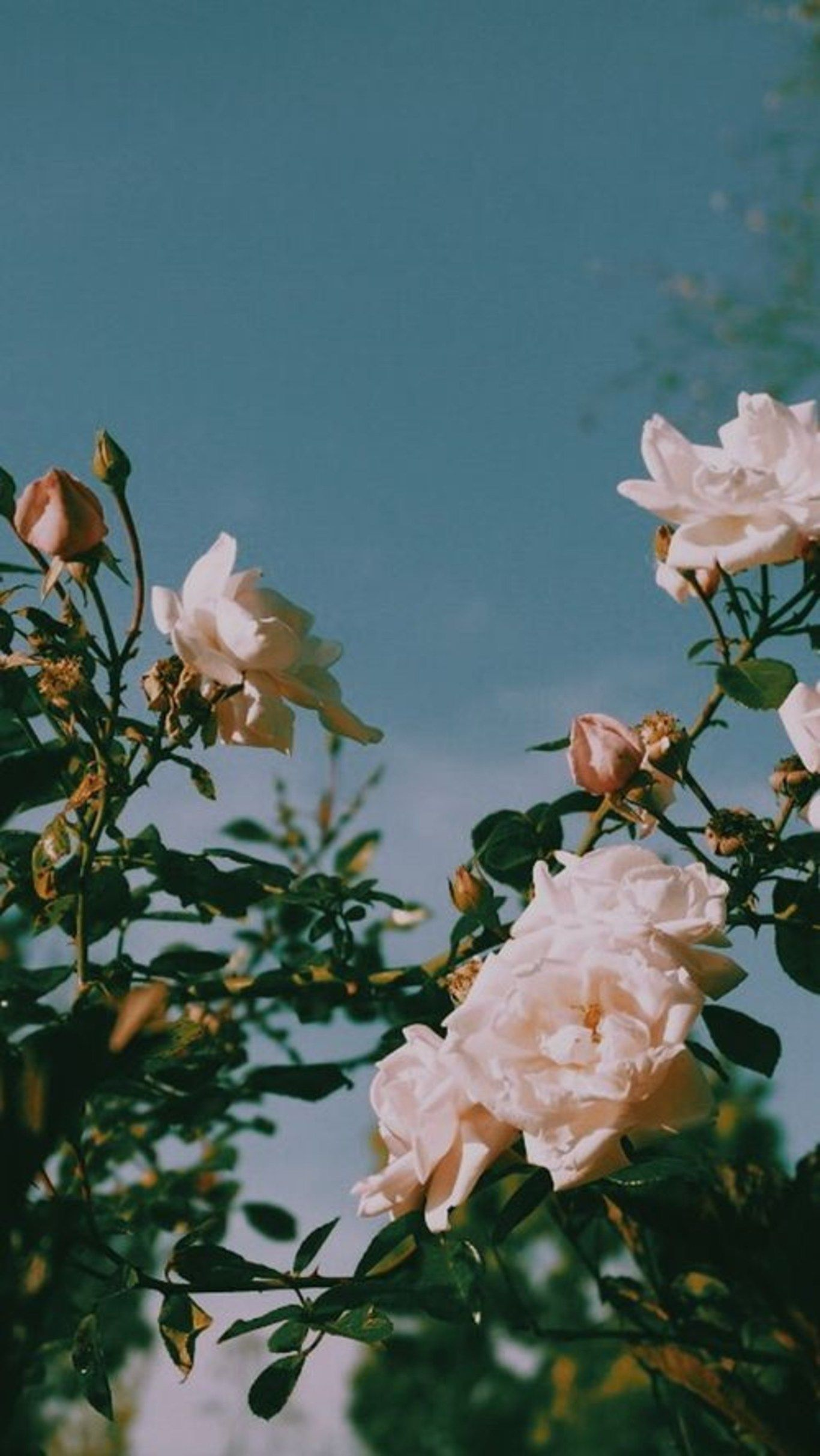 Flower Garden Roses Petal Rose Pink Rose Family Vintage Phone Wallpaper Aesthetic Wallpapers Iphone Wallpaper Vintage