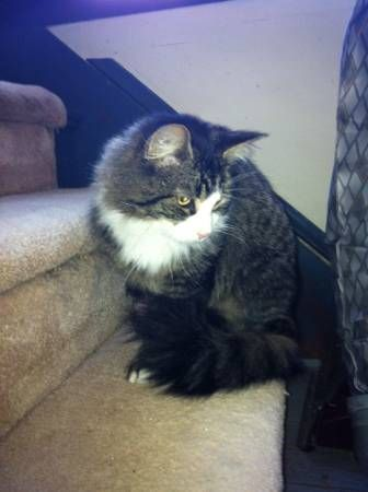 Found cat neutered male tabby (Griswold) Found in