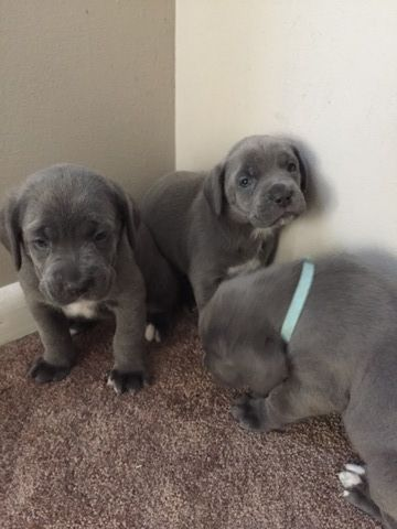 Litter Of 8 Cane Corso Puppies For Sale In Mount Holly Nj Adn