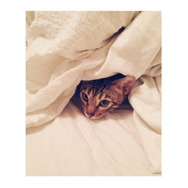 Sweet dreams  #sleepy #cute #kitten #leopard #tired #cosy #snuggle #thursday #home #earlyinbed #relaxingday #bedtime #goodnight #Padgram