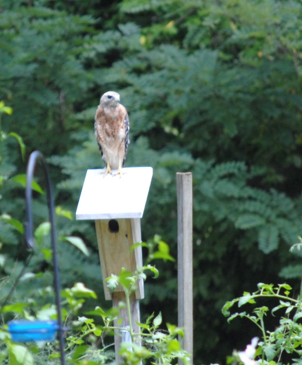 Glad Bluebirds fledged last week. I like my red-shouldered hawk, but I don't want him fooling with my bluebirds.  ~Carla