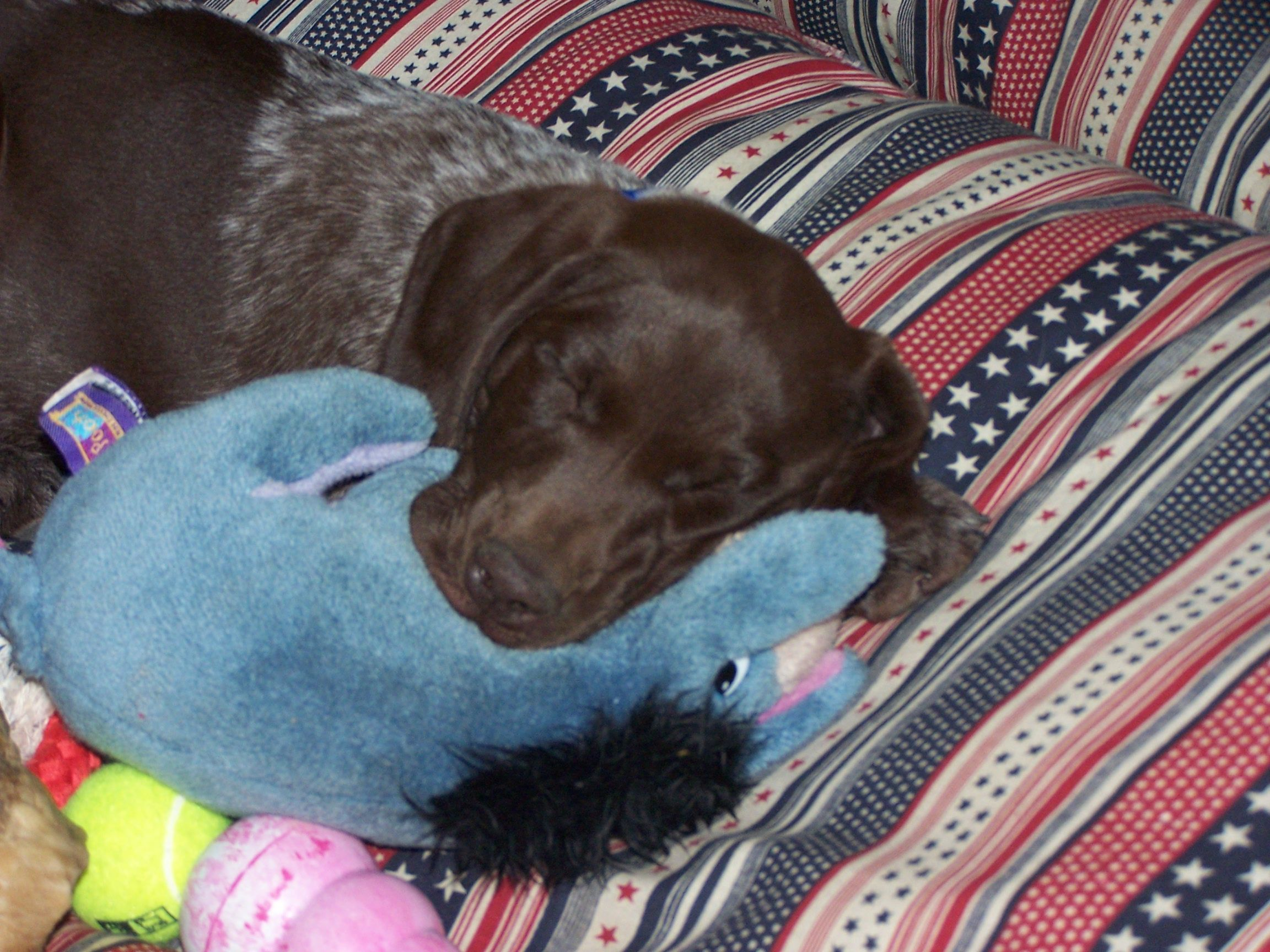 I could just squeeze um till they squeak! | German Shorthair ...