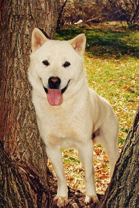 Kishu Ken Dog Breed Information American Kennel Club Jindo Dog