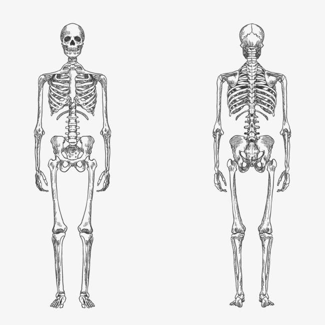 الملايين من Png الصور والخلفيات والمتجهات للتحميل مجانا Pngtree Vector Free Vector Human Skeleton