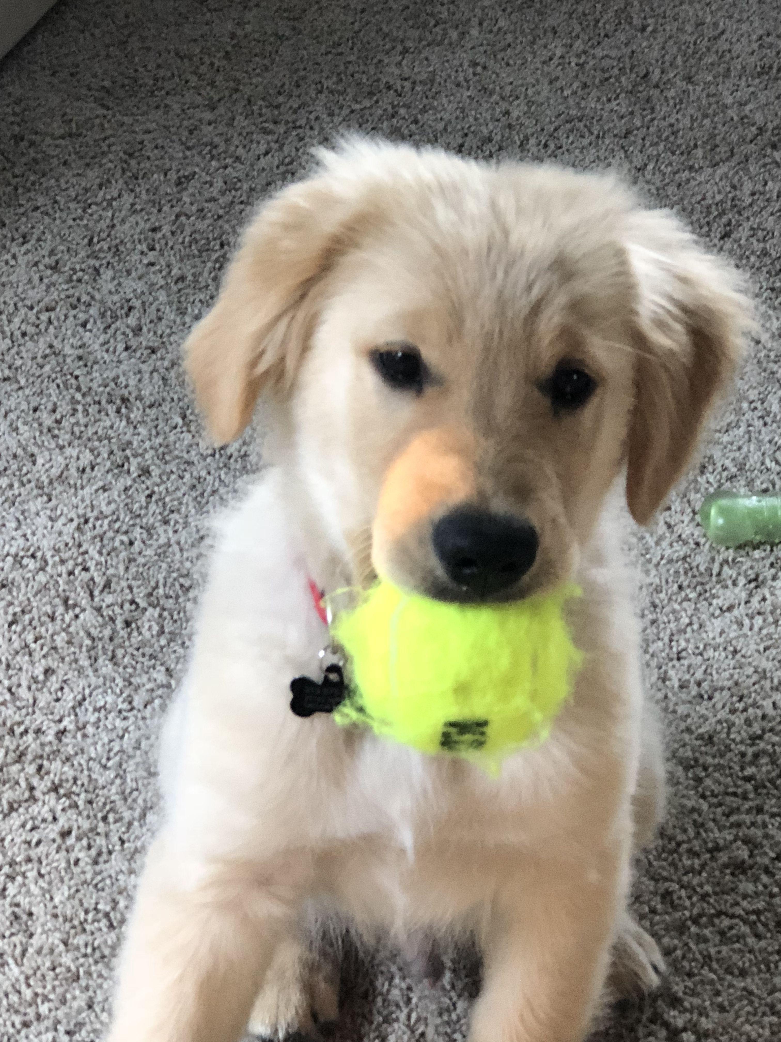 Pin By Lynn Bolton On Golden Retriever Buy A Dog Cute Dogs