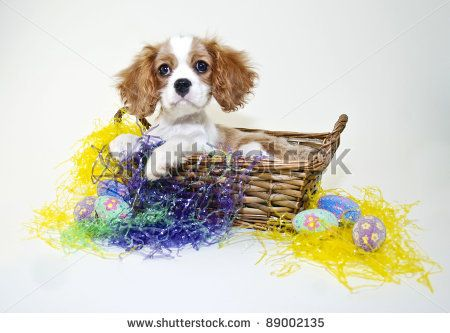 Very sweet king cavalier puppy sitting in an easter basket with very sweet king cavalier puppy sitting in an easter basket with easter grass and eggs negle Images