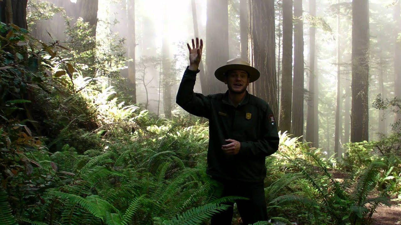 Redwood Ranger Minute Fog in the Redwoods Redwood