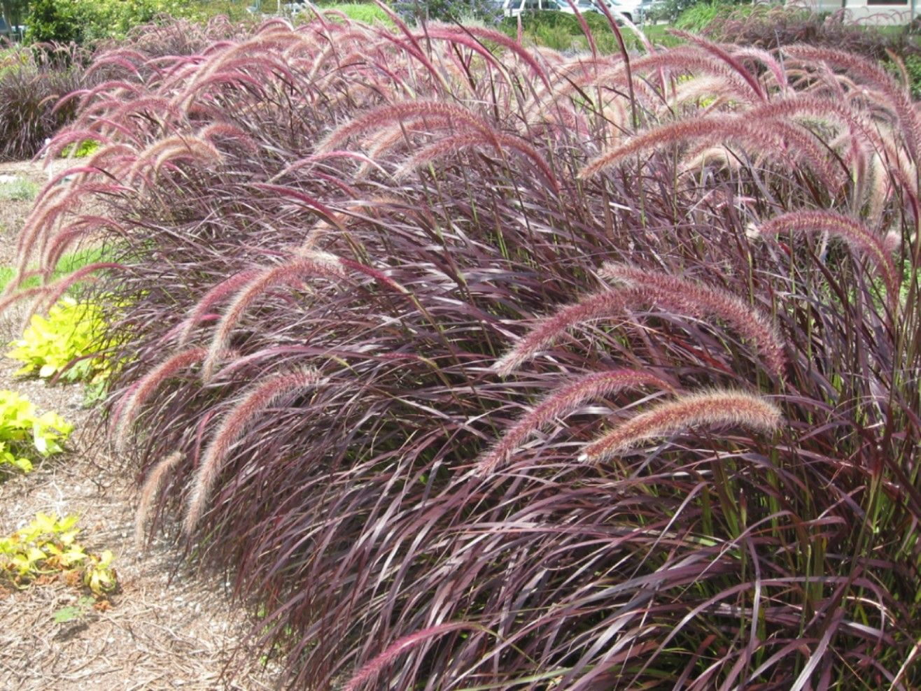 Ornamental grass for shade - Pennisetum Setaceum Rubrum Lavender Fountain Grass Hardy To 20 Degrees Full Sun To