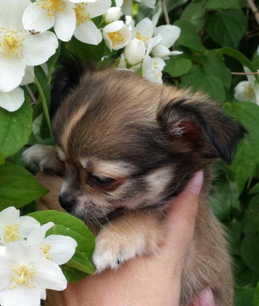 Natur entdecken süßer Chihuahua Welpe