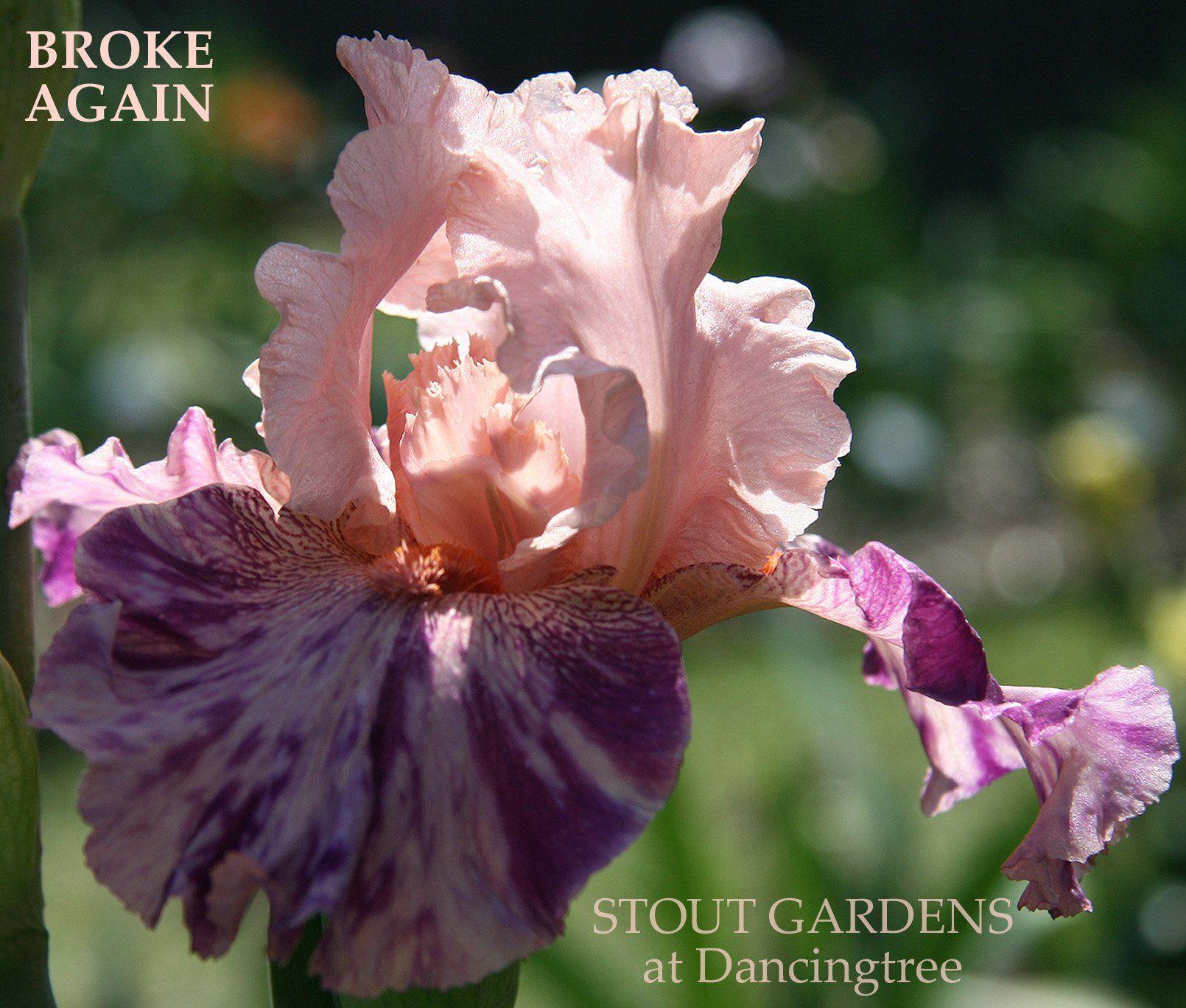Stout Gardens At Dancingtree Iris Broke Again In 2020 Peach Pink Iris Pink Purple