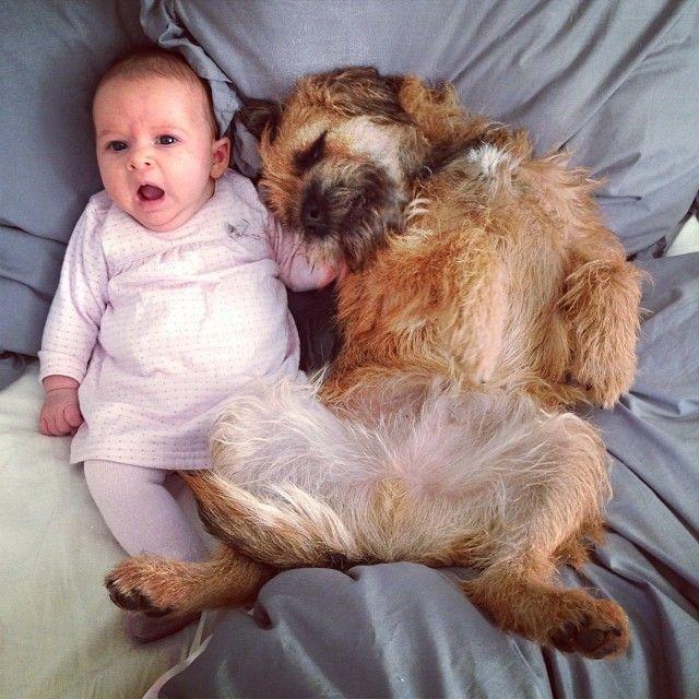 Border Terrier, Terrier, Brown Dog