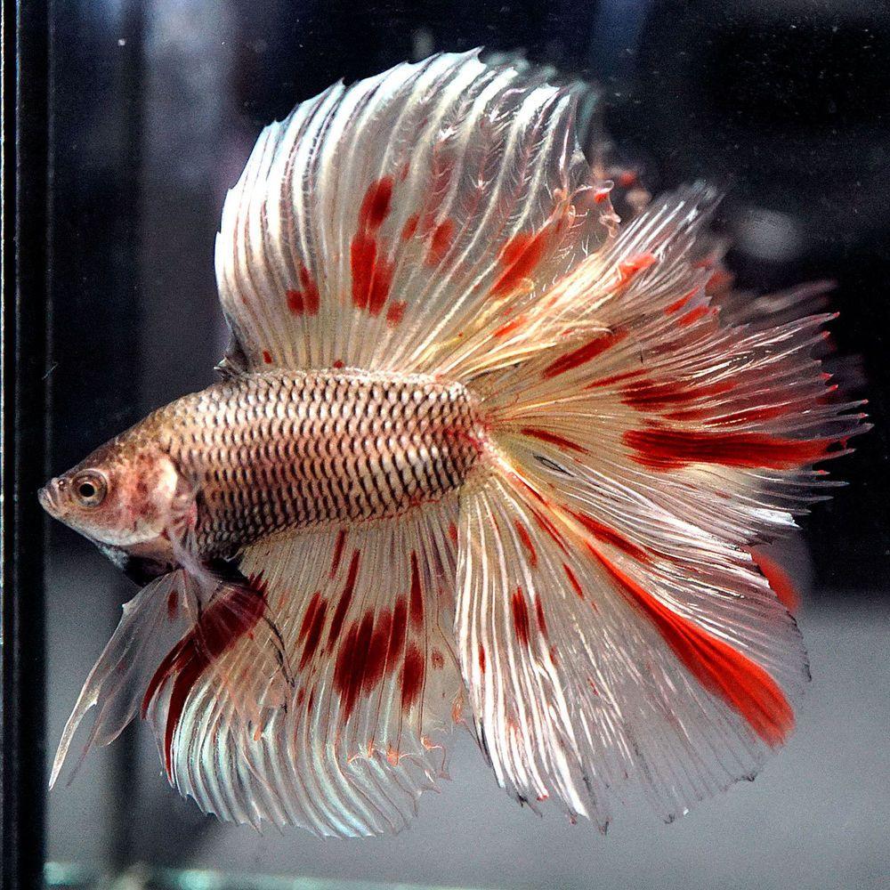Rare big one live betta fish male golden copper for Rare betta fish