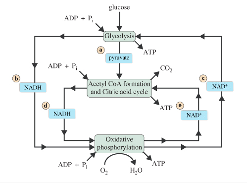 The Coupled Stages Of Cellular Respiration Google Search