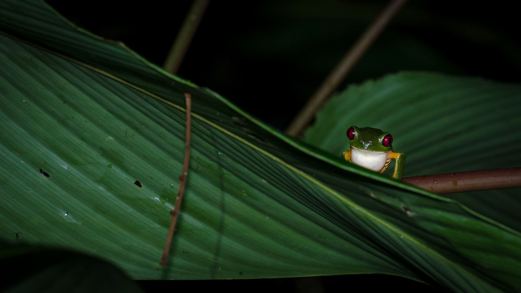 red-eyed tree frog - null