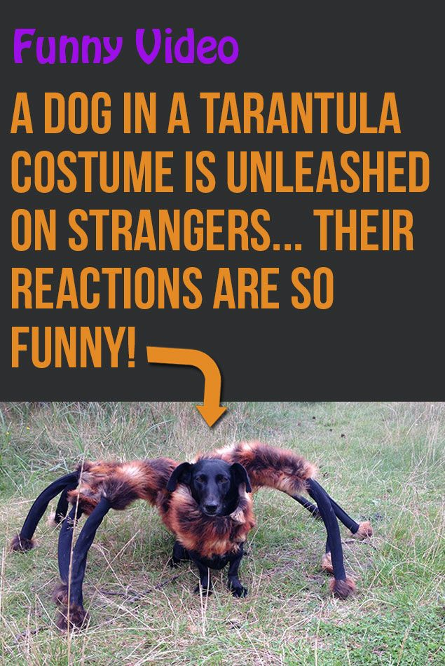 Such a great prank! Makes me excited for Halloween! lol! #funny #dogs & A Dog In A Tarantula Costume Is Unleashed On Strangers... Their ...