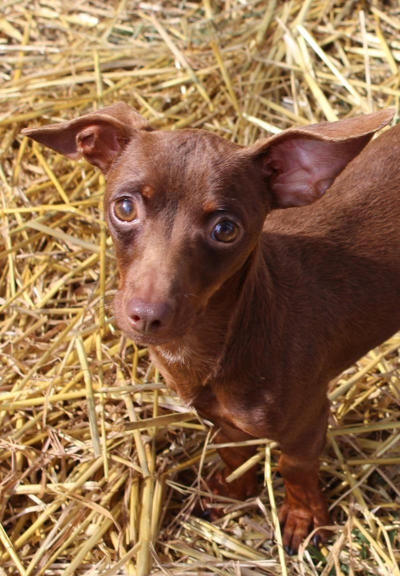 Adopt Peabody on Petfinder Pet birds, Chihuahua mix