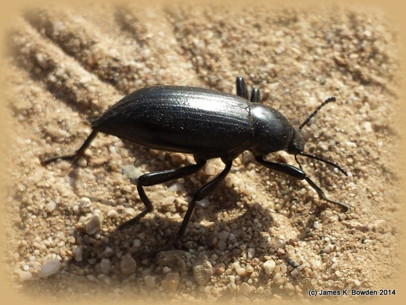 A Darkling Beetle (also known by some as a stink bug) at the Hulda Crooks  Park in Loma Linda, California.
