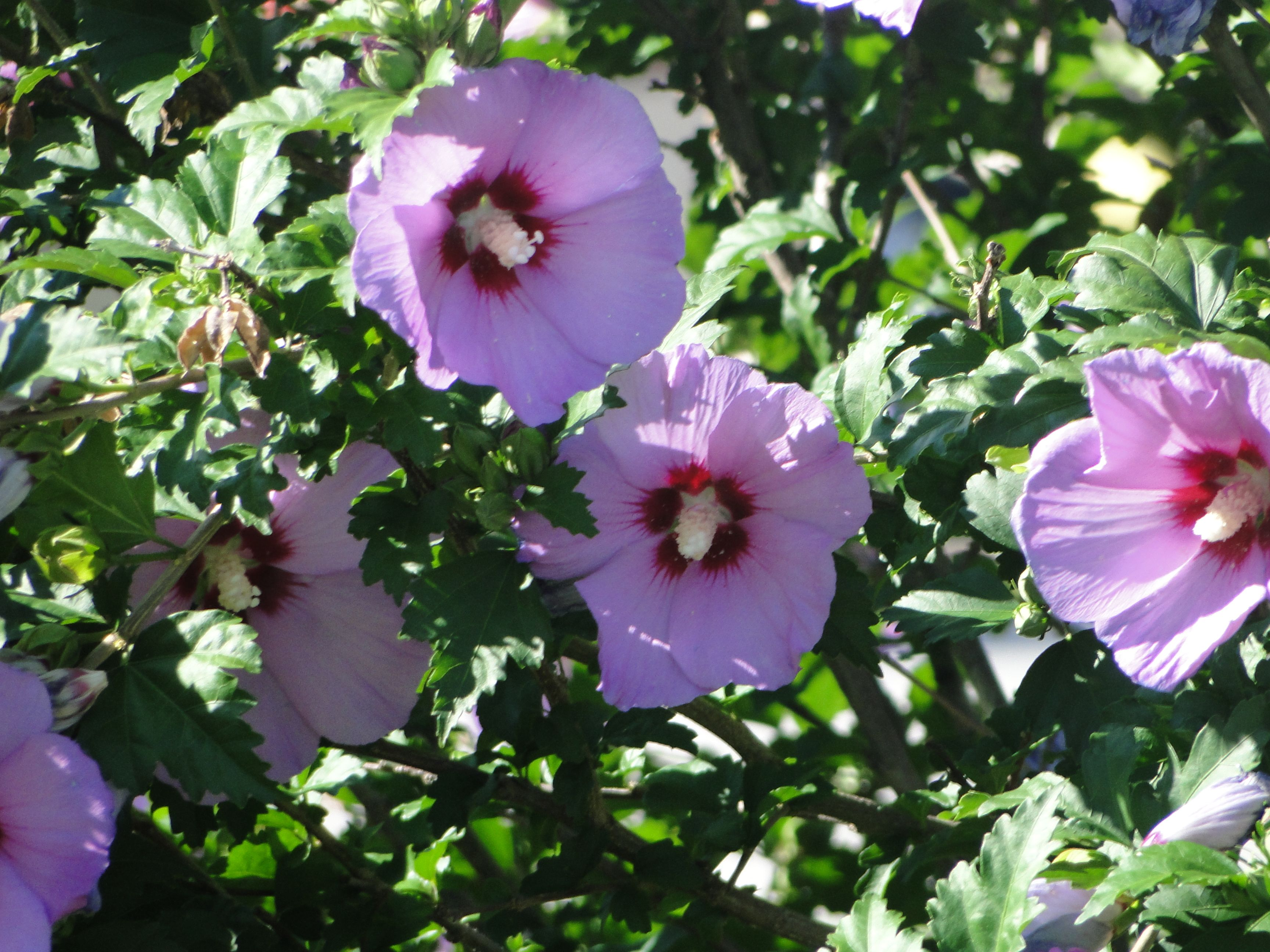 Hibiscus syriacus \'Minerva\' (Rose of Sharon, Shrub Althea) | Shrub ...