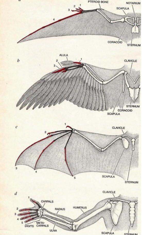Bird And Bat Wings Drawing Tips Pinterest Bat Wings Anatomy