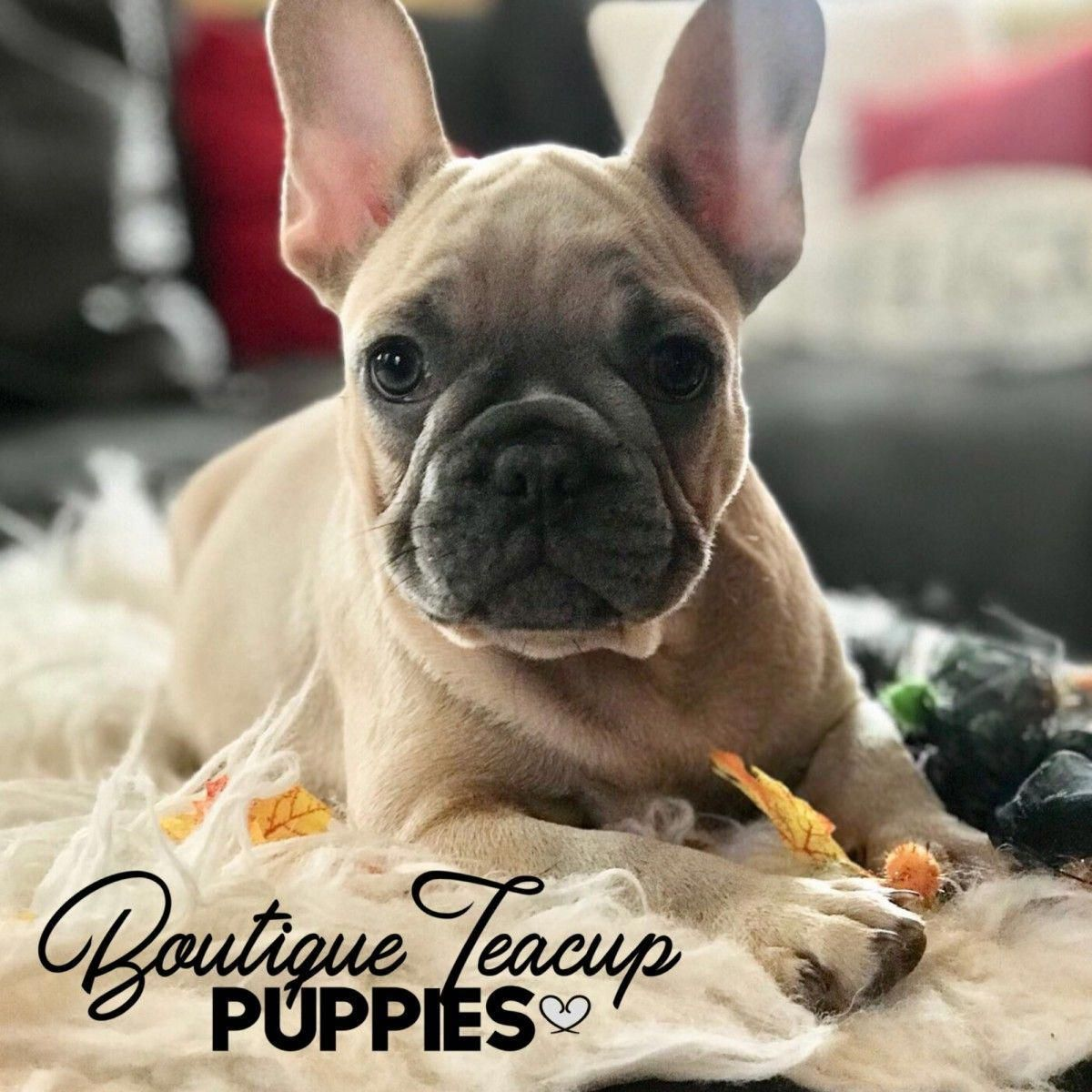 Teacup Mini French Bulldog Puppies For Sale French