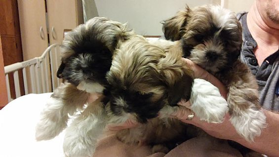 Lhasa Poo Shih Tzu Puppies Pet Dog Puppies For Sale In