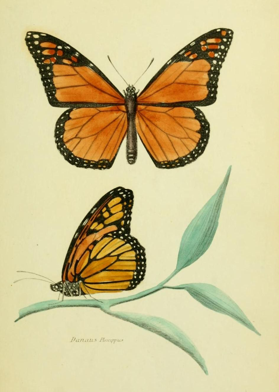 The o jays butterfly tattoos and clothes on pinterest - Danaus Plexippus The Monarch Butterfly Note The Lack Of The Third Line On The Lower Wings Which Viceroys Have Monarch Butterflies Are Famous For Their