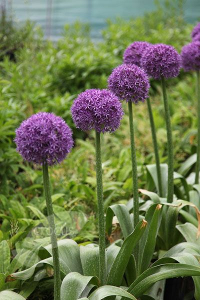 Allium Globemaster Ornamental Onion Bulbs Onion Flower Indoor Flowering Plants Onion Bulbs