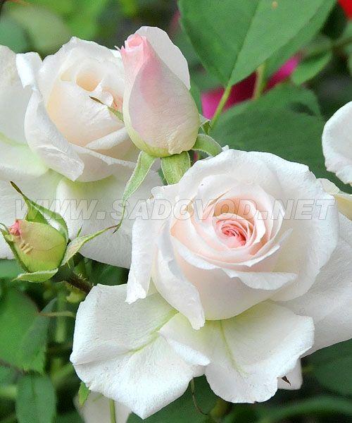 Канадская роза морден блаш
