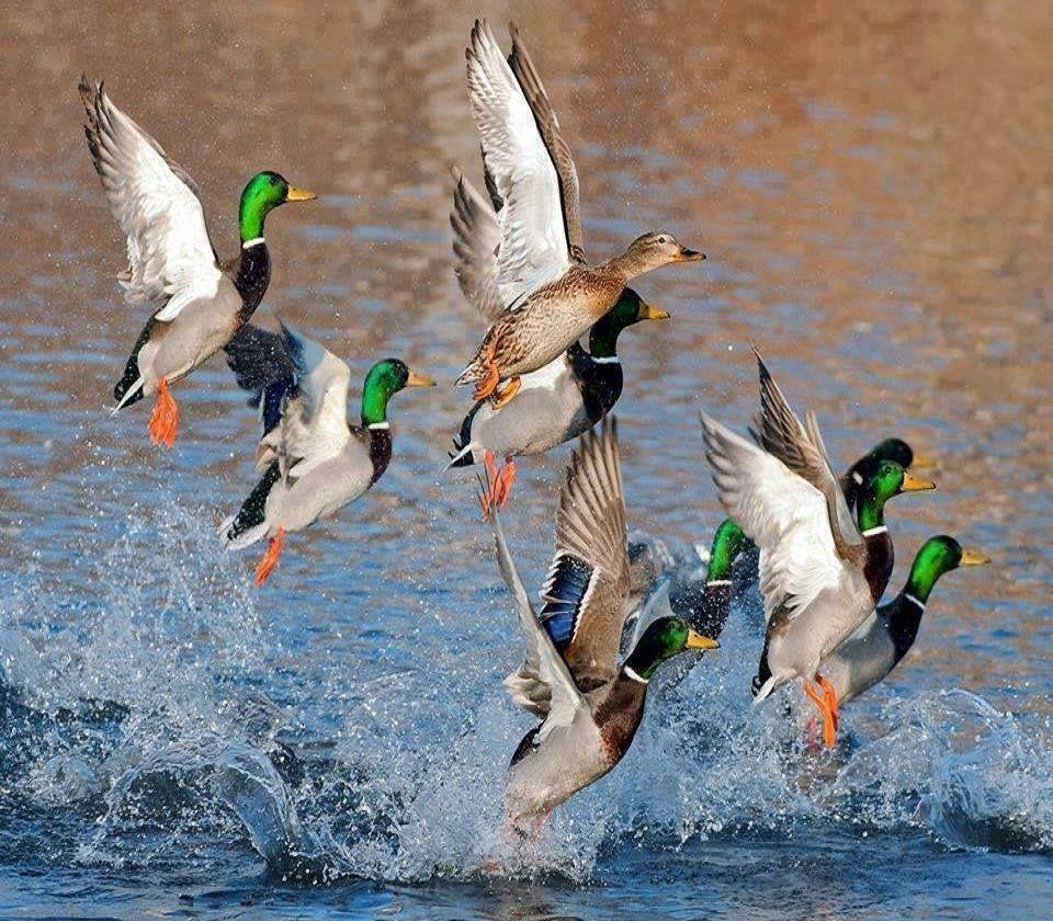 Classic Woodie Birds, Duck hunting, Duck wallpaper