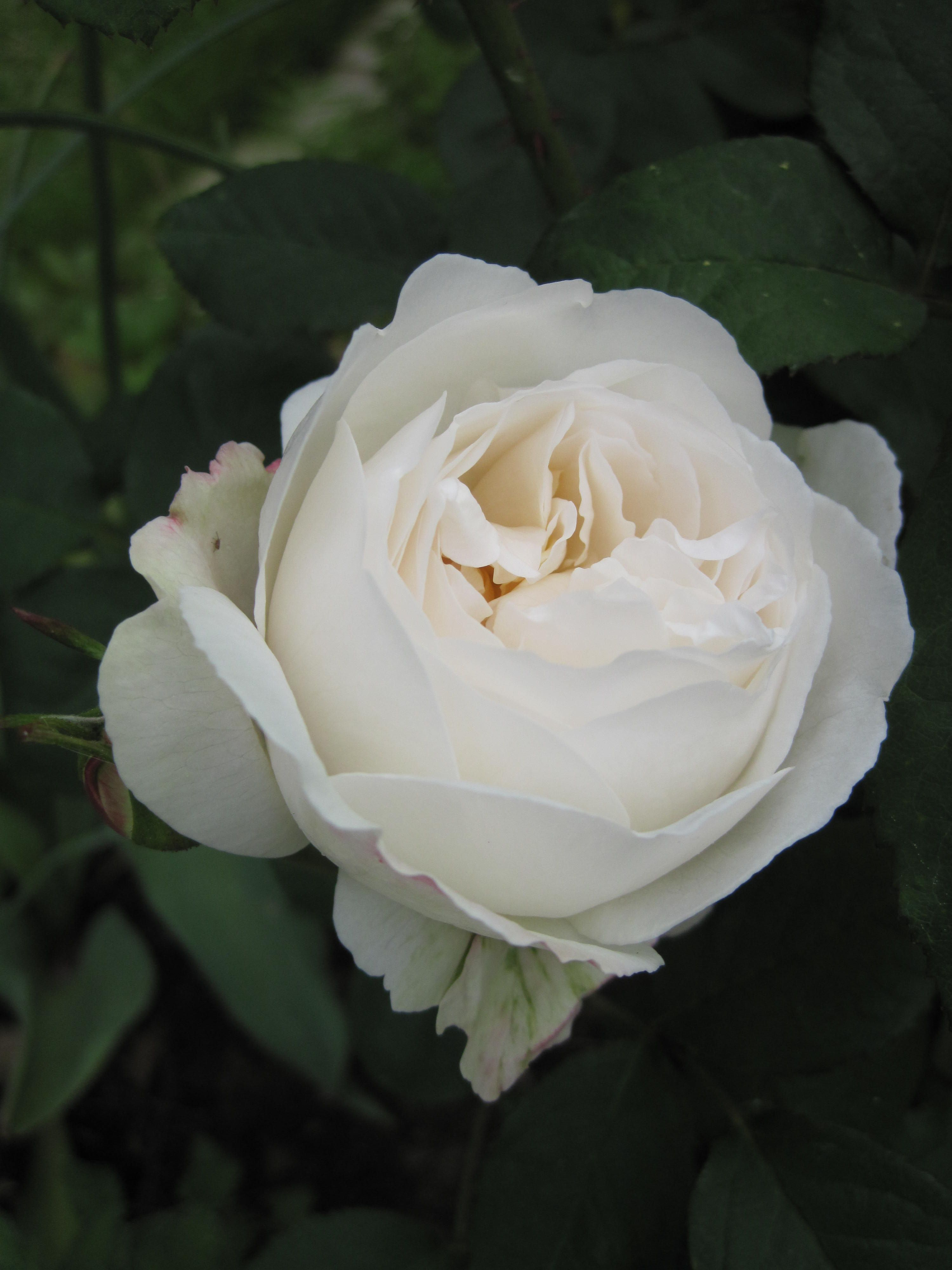 Rose blanche ' Winchester Cathedral ' de David Austin | Roses david austin,  Rose blanche, Fleurs blanches