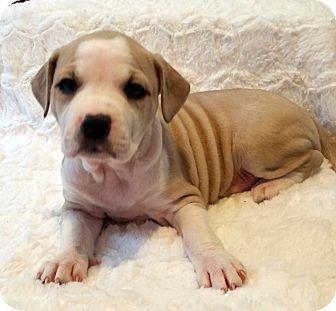 American Bulldog Terrier Unknown Type Medium Mix Puppy For