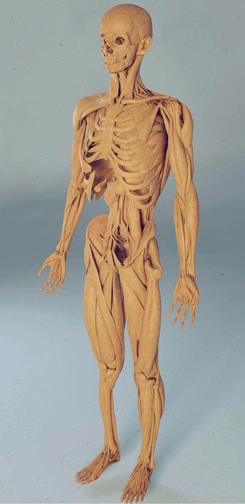 Full anatomy model free download - CGFeedback | Animation
