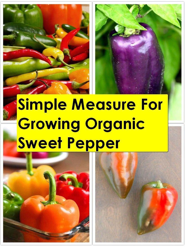 How to grow organic sweet pepper in 2020 stuffed sweet