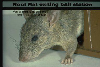 Rodent Control Roof Rats Rodent Control Exterminator