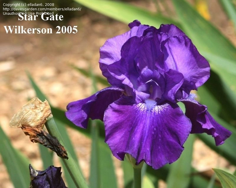 Iris Stargate 32 Tall Reblooms To Zone 6 Bearded Iris Iris Garden