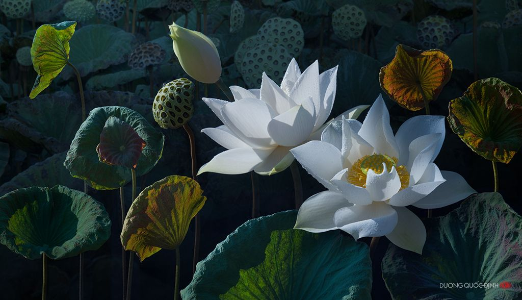 Untitled by Duong Quoc Dinh on 500px | Lotus flower, Lotus