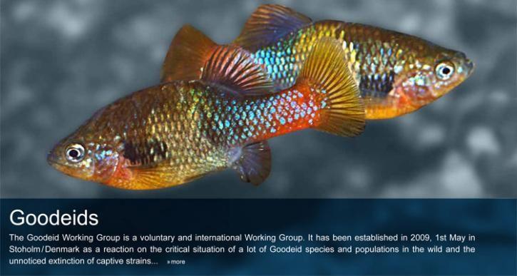 Goodeid Working Group Conservation Fish Pet Fish Tank