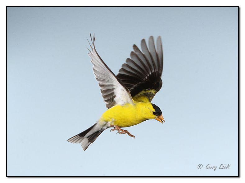 Female American Goldfinch In Flight American Goldfinches
