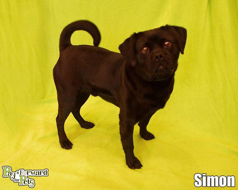 Adopt Simon On Dogs Pug Mix Dog Show