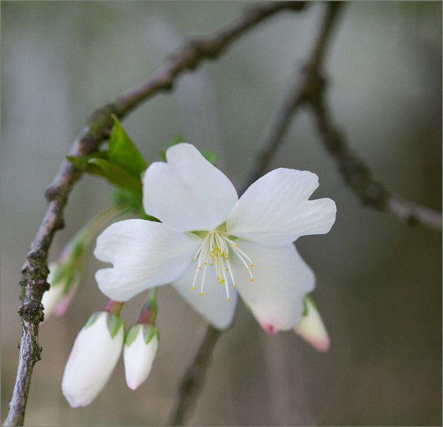 weiße Frühlingsblüte von Vandain Photography auf Leinwand, Tapete und mehr