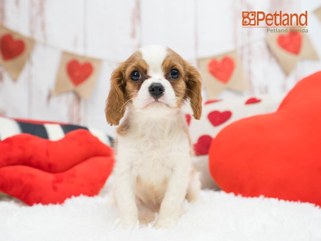 Puppies For Sale Spaniel Puppies For Sale Spaniel Puppies Puppies