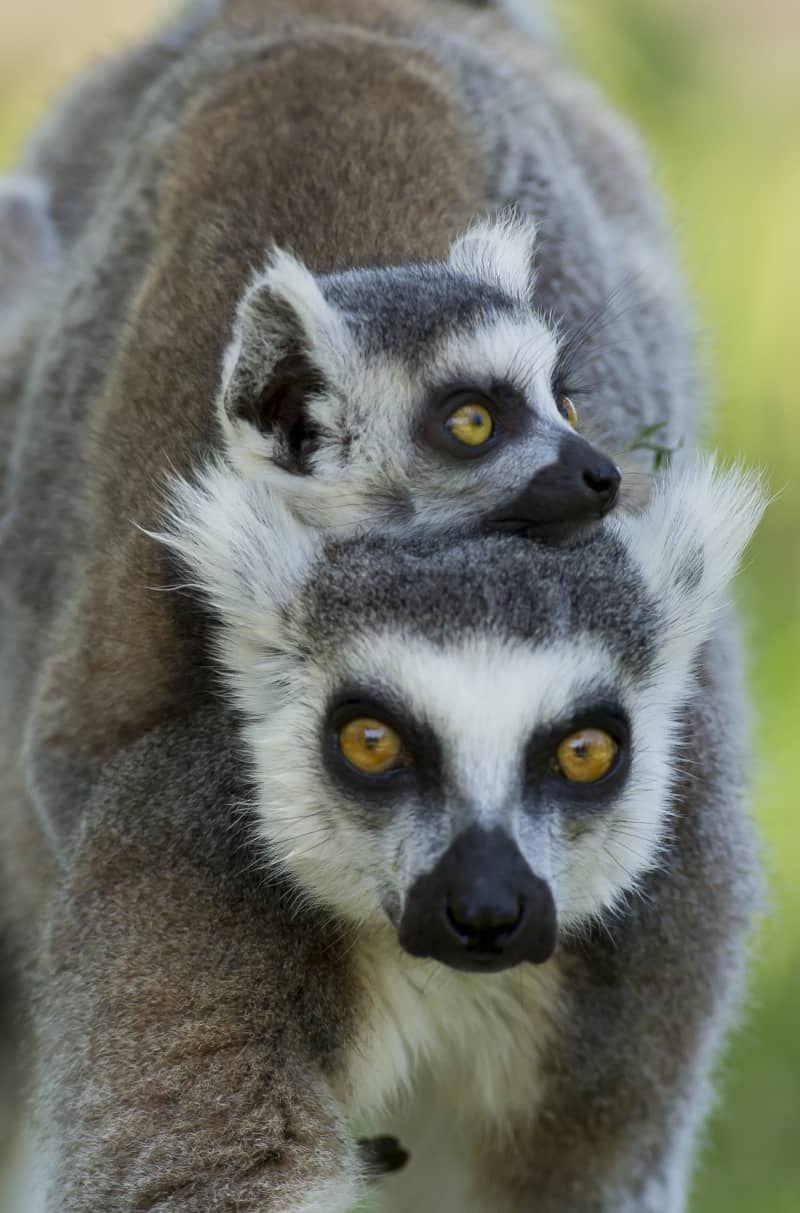 Zwei Baby Lemuren sind zweimal der Spaß   Лемур, Животные ...