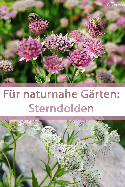 Trendstaude: Sterndolden verzaubern naturnahe Gärten | MDR.DE
