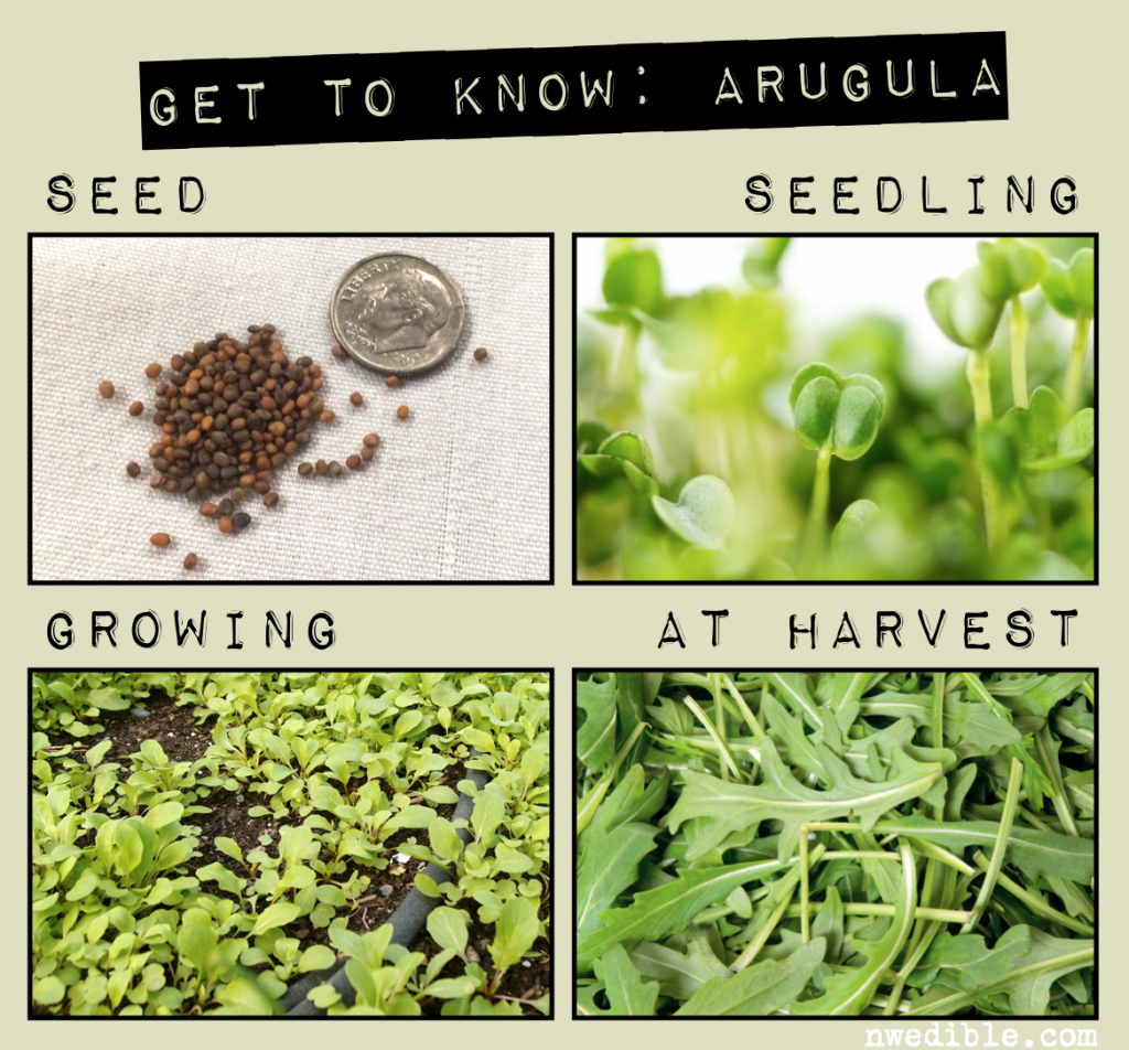 how to grow arugula northwest edible great info on this blog