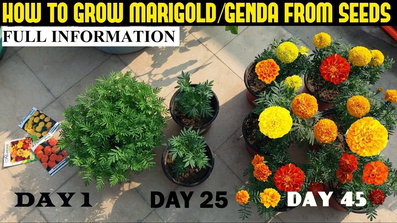 How To Grow Marigold From Seeds (With Full Updates