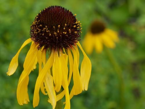 Yellow Coneflower Endangered Plants Plants Plant Species
