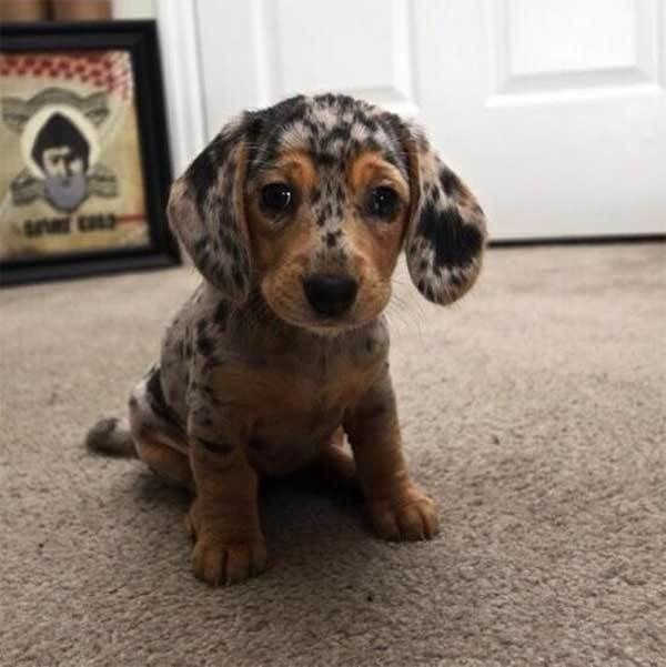 19 Dogs With Beautiful Markings Leopard Dog Dachshund Puppies
