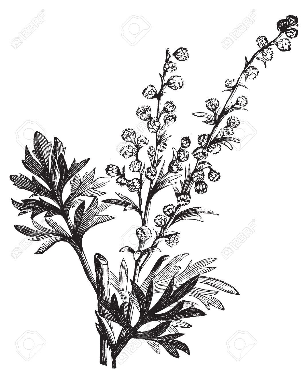 13770562-Absinthe-plant-Artemisia-absinthium-or-wormwood-engraving-illustration--Stock-Photo.jpg 1.074×1.300 piksel