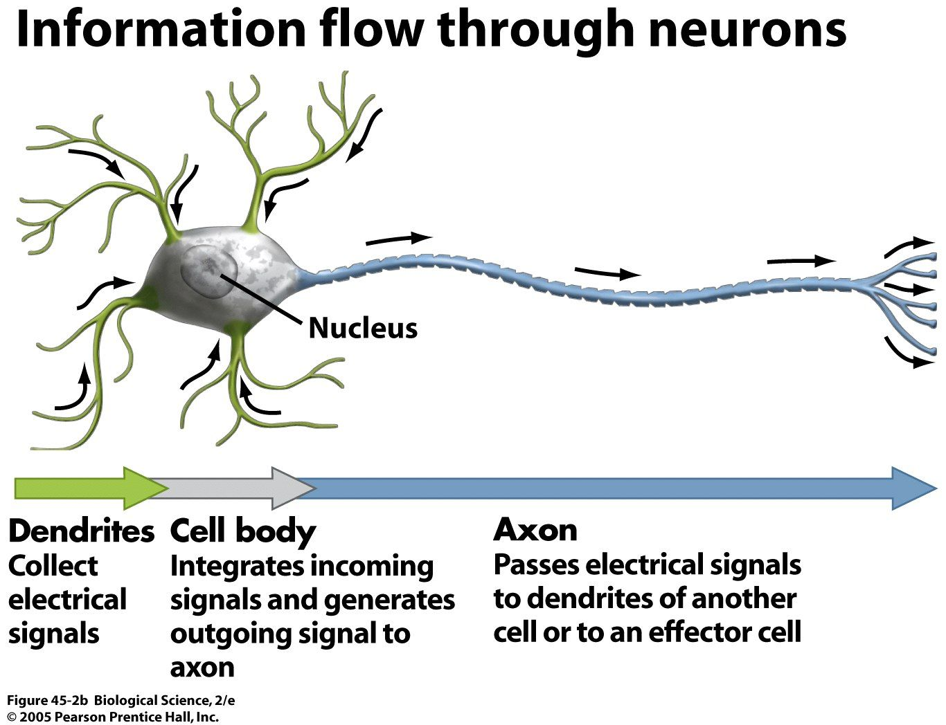 The nervous system communicates through the use of electrical ...
